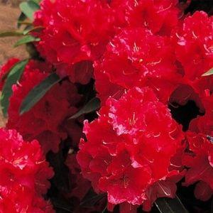 Rhododendron 'Wilgens ruby' – Pot de 7,5 litres, hauteur 30/40 cm – PLANTES ET JARDINS – Jardinerie en ligne