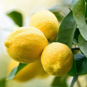 citronnier plante d 39 ext rieur gamm vert. Black Bedroom Furniture Sets. Home Design Ideas