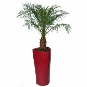 Phoenix roebellini rempoté dans pot Lechuza Delta rouge – PLANTES ET JARDINS – Jardinerie en ligne