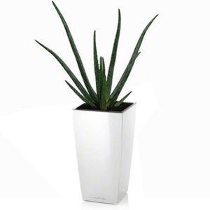 Aloe vera rempoté dans pot Lechuza Maxi Cubi blanc – Haut. totale 70 cm. – PLANTES ET JARDINS – Jardinerie en ligne