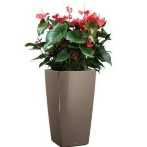 Anthurium rouge x 3 rempotés dans pot Lechuza cubico taupe – Hauteur totale 100/110 cm – PLANTES ET JARDINS – Jardinerie en ligne