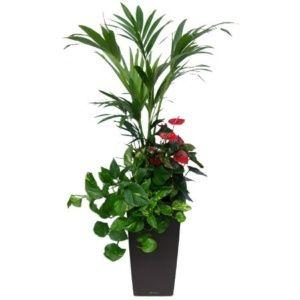 Composition 3 plantes rempotées dans pot Lechuza Cubico anthracite – Hauteur totale environ 150 cm- PLANTES ET JARDINS – Jardinerie en ligne