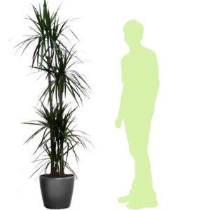 Dracaena marginata 5 pieds rempoté dans pot Lechuza Classico anthracite  – Hauteur totale 170 cm – PLANTES ET JARDINS – Jardinerie en ligne