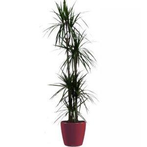 Dracaena marginata 5 pieds rempoté dans pot Lechuza rouge  – Hauteur totale 170 cm – PLANTES ET JARDINS – Jardinerie en ligne