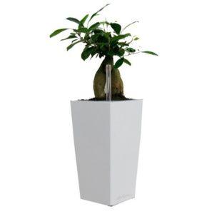 Ficus 'Ginseng' rempoté dans pot Lechuza MaxiCubi blanc – H. totale environ 60 cm – PLANTES ET JARDINS – Jardinerie en ligne