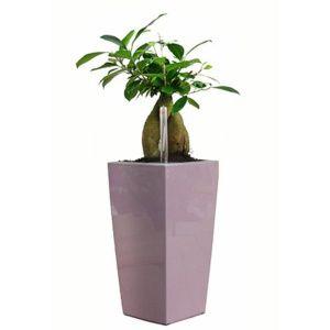 Ficus 'Ginseng' rempoté dans pot Lechuza MaxiCubi Mauve – Haut. totale environ 60 cm – PLANTES ET JARDINS – Jardinerie en ligne