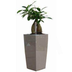 Ficus 'Ginseng' rempoté dans pot Lechuza MaxiCubi taupe – H. totale environ 60 cm. – PLANTES ET JARDINS – Jardinerie en ligne