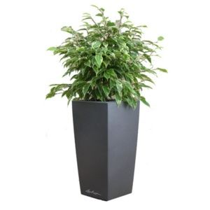 Ficus Kinky rempoté dans pot Lechuza anthracite – Haut. totale environ 70 cm. – PLANTES ET JARDINS – Jardinerie en ligne