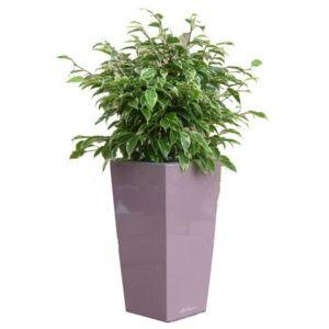 Ficus Kinky rempoté dans pot Lechuza mauve – Haut. totale environ 70 cm. – PLANTES ET JARDINS – Jardinerie en ligne