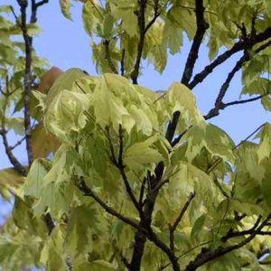 Erable plane 'Drummondii' (Acer platanoides 'Drummondii')