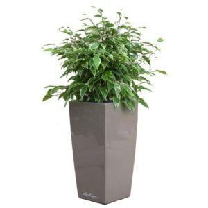 Ficus Kinky rempoté dans pot Lechuza taupe – Haut. totale environ 70 cm. – PLANTES ET JARDINS – Jardinerie en ligne