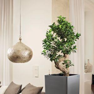 Ficus Ginseng 'compacta' rempoté dans pot Lechuza anthracite – haut. totale 120/130 cm- PLANTES ET JARDINS – Jardinerie en ligne