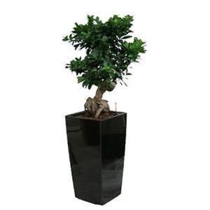 Ficus retusa 'compacta' rempoté dans pot Lechuza cubico noir – haut totale 120/130 cm- PLANTES ET JARDINS – Jardinerie en ligne