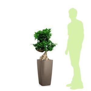 Ficus retusa 'compacta' rempoté dans pot Lechuza cubico taupe – haut totale 120/130 cm- PLANTES ET JARDINS – Jardinerie en ligne