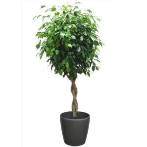 Ficus tressé rempoté dans pot Lechuza Classico anthracite – PLANTES ET JARDINS – Jardinerie en ligne