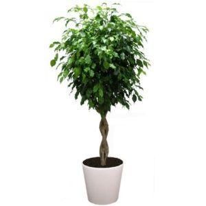 Ficus tressé rempoté dans pot Lechuza Classico blanc – PLANTES ET JARDINS – Jardinerie en ligne