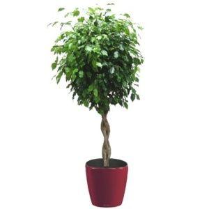 Ficus tressé rempoté dans pot Lechuza Classico rouge – Haut. totale 160 cm- PLANTES ET JARDINS – Jardinerie en ligne