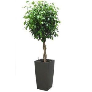 Ficus tressé rempoté dans pot Lechuza Cubico anthracite – Haut. totale 160 cm- PLANTES ET JARDINS – Jardinerie en ligne