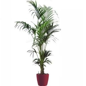 Kentia (hauteur 180/200cm) rempoté dans pot Lechuza rouge -hauteur totale 200cm – PLANTES ET JARDINS – Jardinerie en ligne