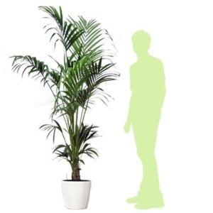 Kentia rempoté dans pot Lechuza – Hauteur totale 200/210 cm – PLANTES ET JARDINS