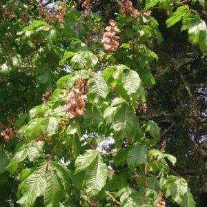 Marronnier à fleurs rouges Briotii