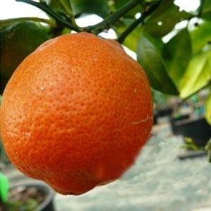 Lime rouge – Agrume pot de 5 litres – PLANTES-ET-JARDINS