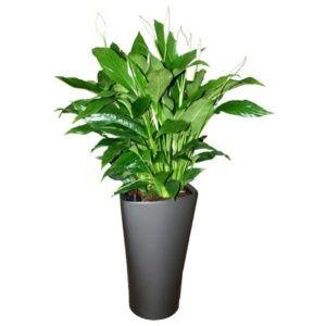 Spathiphyllum rempoté dans un pot Lechuza Delta anthracite – Hauteur totale 120 cm- PLANTES ET JARDINS – Jardinerie en ligne