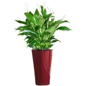 Spathiphyllum rempoté dans un pot Lechuza Delta rouge – Hauteur totale 120 cm- PLANTES ET JARDINS – Jardinerie en ligne