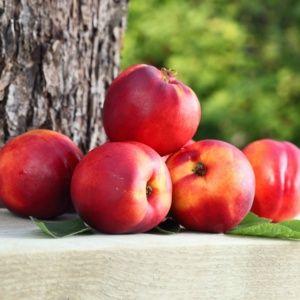 Nectarinier de balcon 'Necta Me'- Pot de 2 litres – PLANTES ET JARDINS