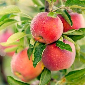 Pommier de balcon 'Apple Me Red' – Pot de 2 litres – PLANTES ET JARDINS