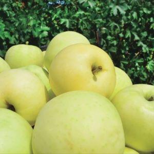 Pommier de balcon 'Apple Me Yellow Golden' – Pot de 2 litres – PLANTES ET JARDINS