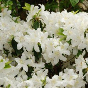 Azalée japonaise 'Palestrina – Pot de 3 litres – PLANTES ET JARDINS – Jardinerie en ligne