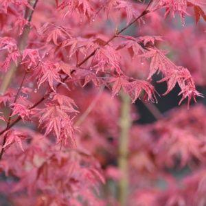 Erable du Japon 'Deshojo'- Pot de 3 litres- PLANTES ET JARDINS – Jardinerie en ligne