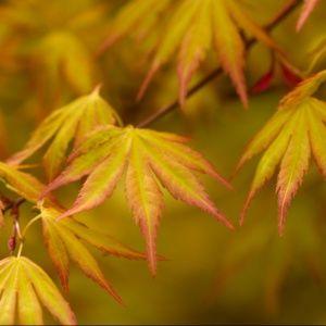 Erable du Japon 'Orange Dream' – Pot de 3 litres – PLANTES ET JARDINS – Jardinerie en ligne