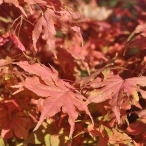 Erable du Japon 'Reticulatum Red' – Pot de 3 litres- PLANTES ET JARDINS – Jardinerie en ligne