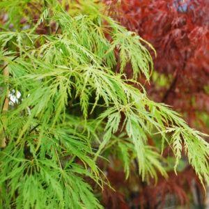 Erable du Japon 'Seiryu'- Pot de 3 litres – PLANTES ET JARDINS – Jardinerie en ligne