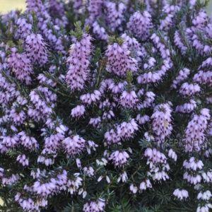 Bruyère d'hiver 'Spring Surprise' – Pot de 3 litres – PLANTES ET JARDINS – Jardinerie en ligne