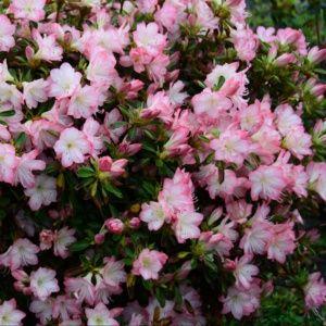 Azalee japonaise 'Peggy Ann' – Pot de 3 litres- 3 ans – PLANTES ET JARDINS – Jardinerie en ligne