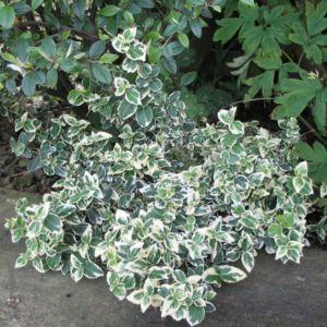 Fusain fortunei 'Emerald Gaiety'- Pot de 2 litres- PLANTES ET JARDINS – Jardinerie en ligne
