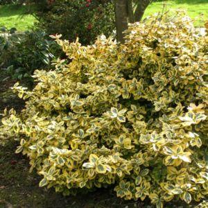 Fusain fortunei 'Emerald and Gold'- Pot de 4 litres- PLANTES ET JARDINS – Jardinerie en ligne