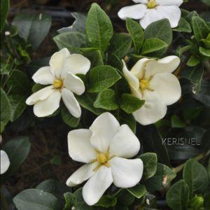 Gardenia 'Kleim's Hardy'-  Pot de 4 litres- PLANTES ET JARDINS – Jardinerie en ligne