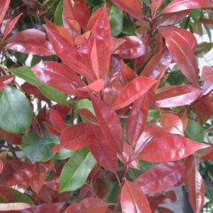 Photinia x fraseri  'Red robin' –  Pot de 4 litres- PLANTES ET JARDINS – Jardinerie en ligne
