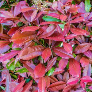 Photinia x fraseri  'Red robin' –  Pot de 2 litres- PLANTES ET JARDINS – Jardinerie en ligne