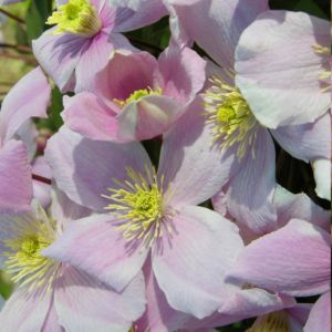 Clématite montanta 'Mayleen'- GODET DE 8 CM – PLANTES ET JARDINS – Jardinerie en ligne