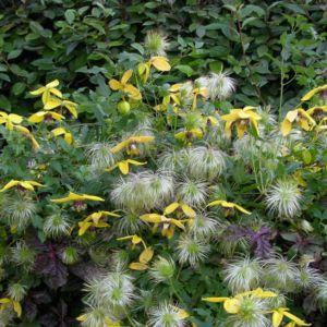 Clématite 'Golden Tiara'- GODET DE 8 CM – PLANTES ET JARDINS – Jardinerie en ligne