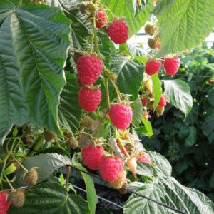 Framboisier 'Paris'- lot de 3 plants – PLANTES ET JARDINS – Jardinerie en ligne