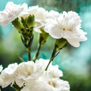Dianthus x scent first ® memories