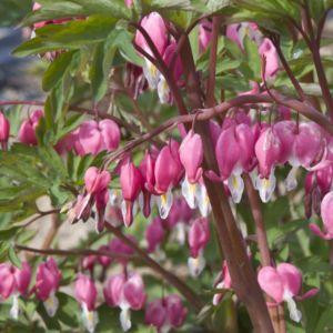 Dicentra spectabilis rose