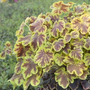Heucherella solar eclipse ®