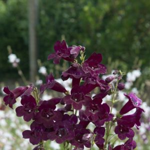 Penstemon black bird